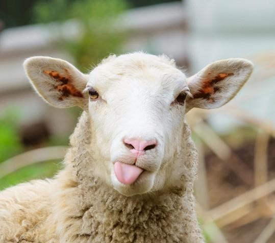 Ein Schaf, das lustig die Zunge rausstreckt.