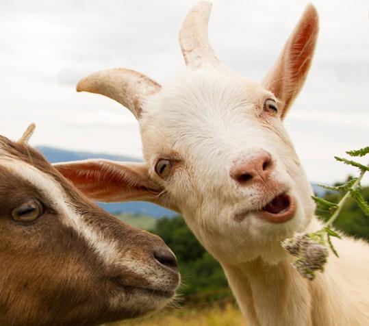Eine Ziege, die den Kopf lustig schief legt.
