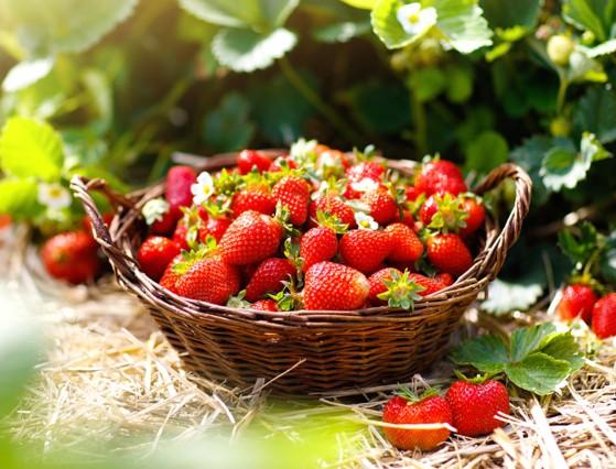 Erdbeeren aus dem Eferdinger Becken.